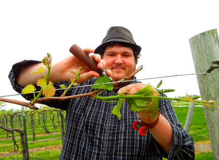 Josh uses a wire tyer to extend the cordon on a Cayuga White grapevine