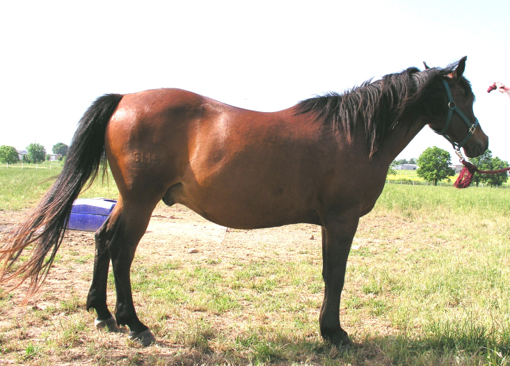 1990 Arabian gelding for sale