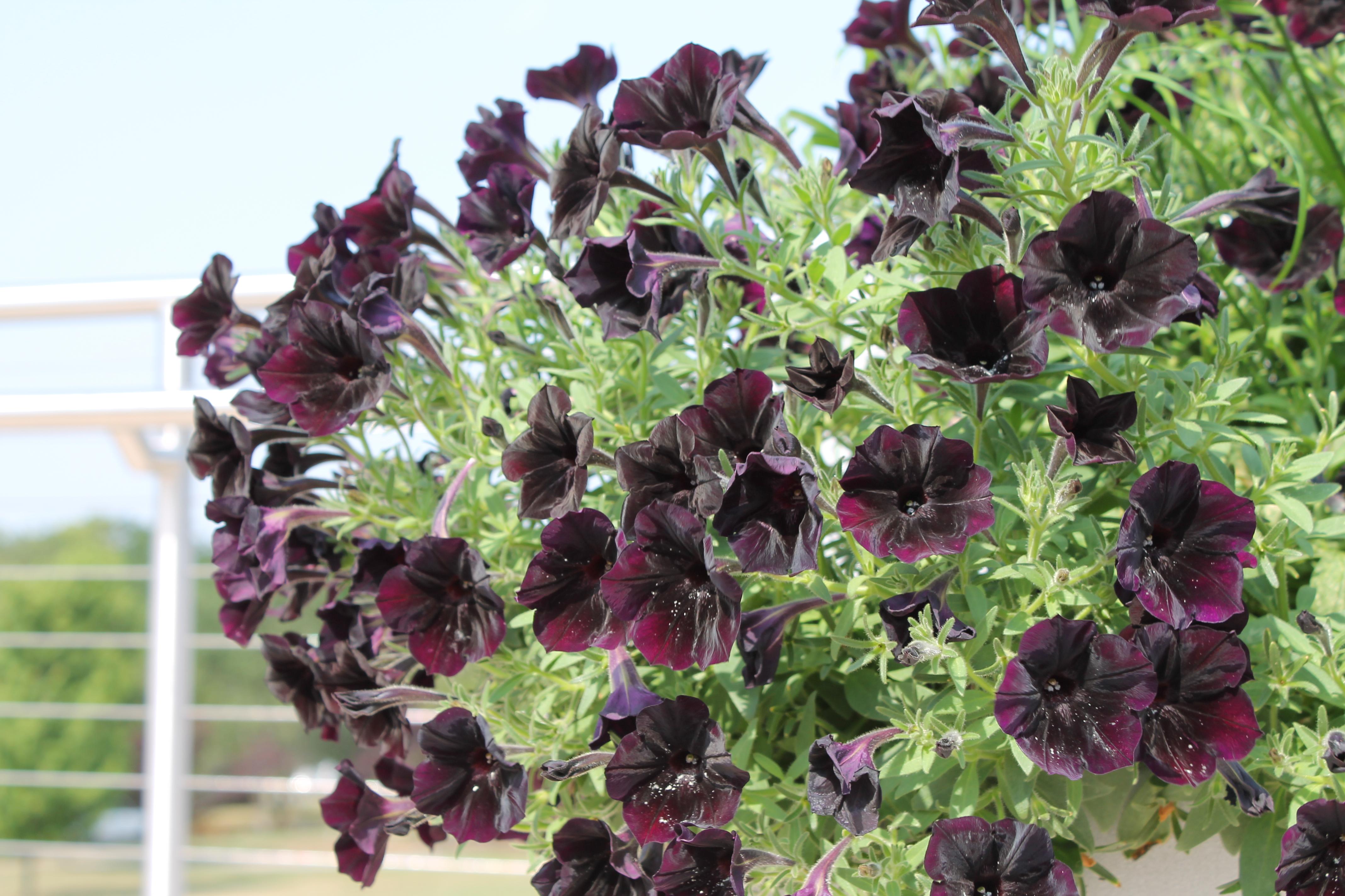 MSU Flower Variety Trial in Full Swing Despite Heat
