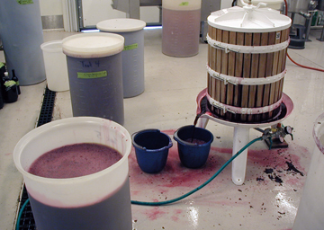 Pressing grapes for home wine.