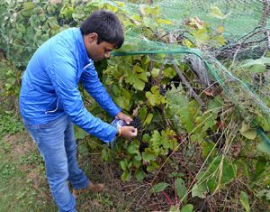 Surya Sapkota collects berry samples from Norton grapevines. It is important to collect an equal number of berries from each side of the trellis.