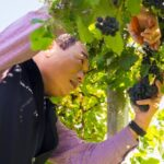 Man cutting grapes from vine