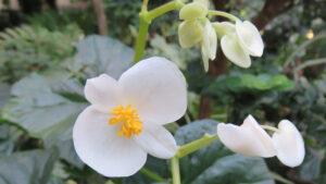 A white Begonia flower.