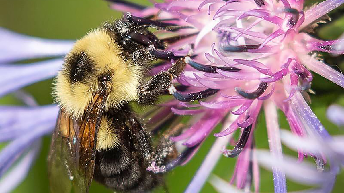 A bee pollinates a flower.