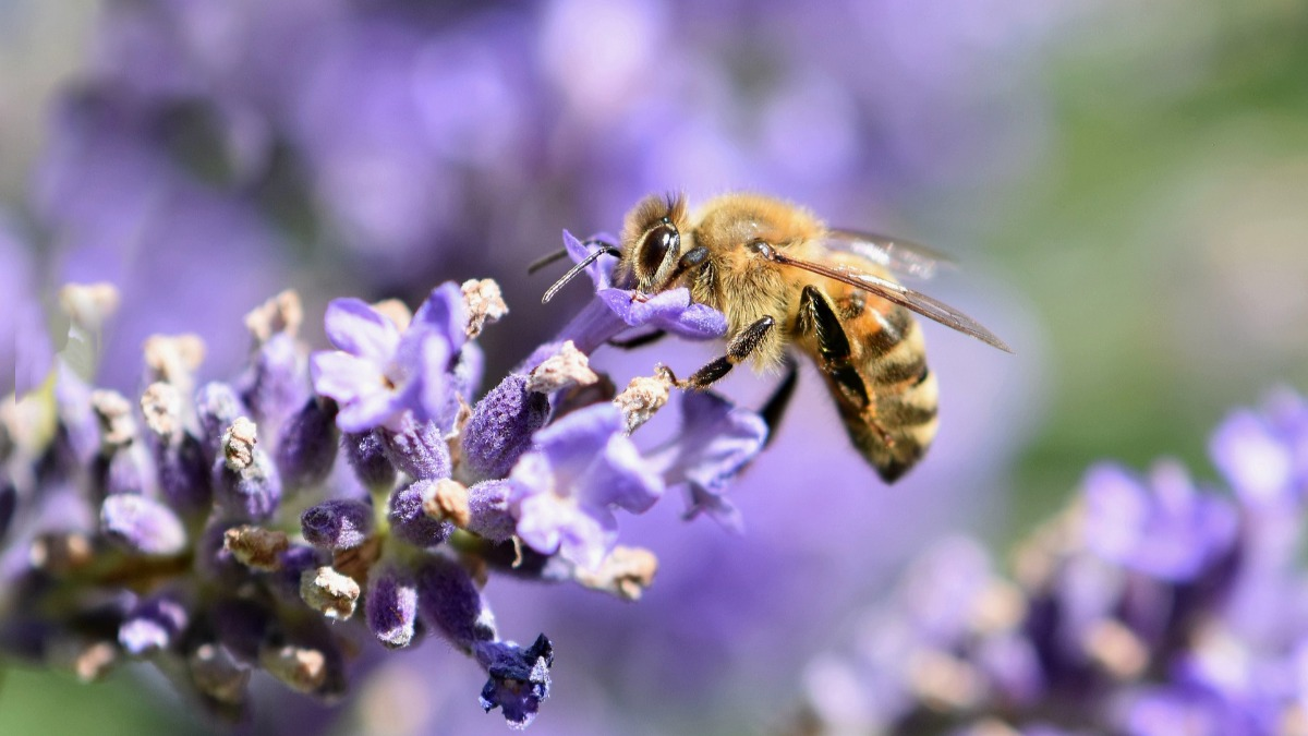 A bee forages from a flower. Image by Helga Kattinger from Pixabay.