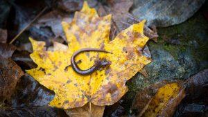 A salamander on a leaf