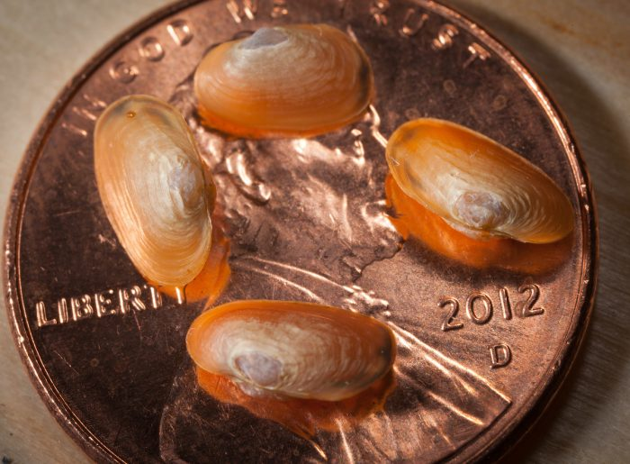 mussels on a penny