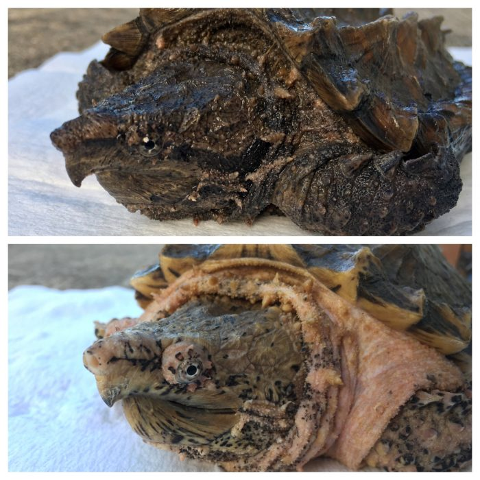 A wild type alligator snapping turtle (top) as compared to an alligator snapping turtle with hypomelanism.