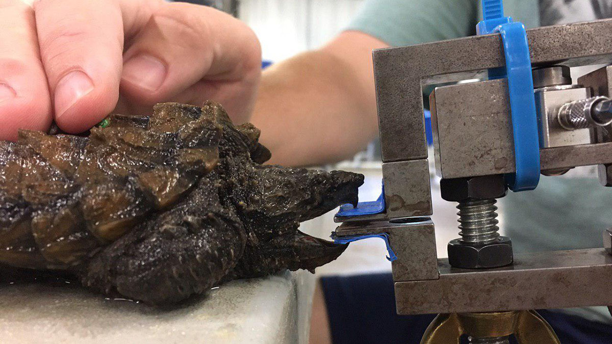 snapping turtle takes a bite test
