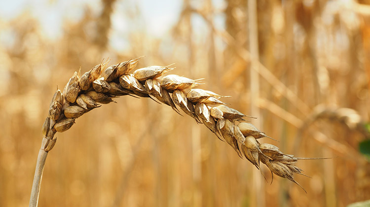 Image of a wheat stalk in a wheat field