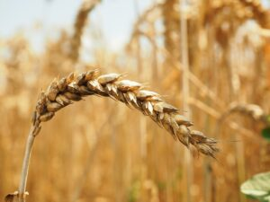 Close up photo of a wheat field