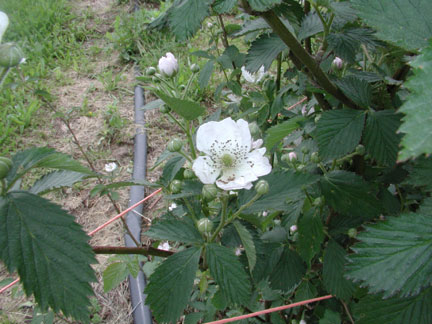 Ouachita blackberry blossom