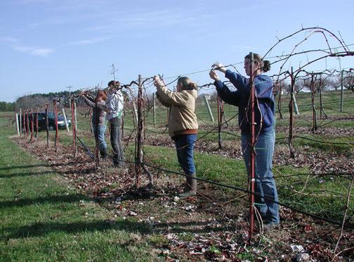 Catawba grape pruning begins - Potatura uva da tavola ...