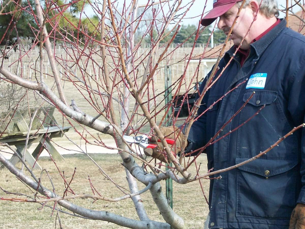 John Avery Demonstrates Pruning a Peach Tree