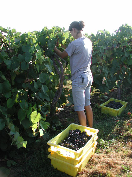 Harvesting Sunbelt grapes in the cool morning.