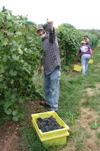 Jack Atchison shows off a large cluster of Chambourcin grapes.