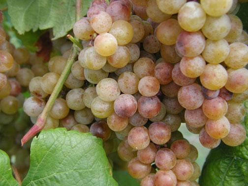 Traminette grapes at harvest time.