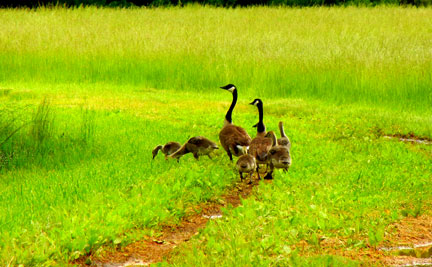 Goose family on the road to the pond