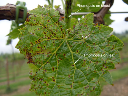 Phomopsis fungal spots on Vidal Blanc grape leaf and shoot