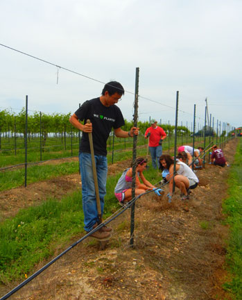 Planted Valvin Muscat and Sunbelt grapes
