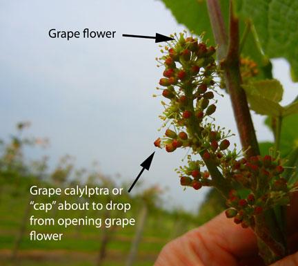 Caps off to grape blossoms