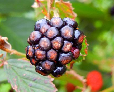 Dry drupelets on blackberry
