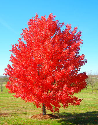 Last red maple showing