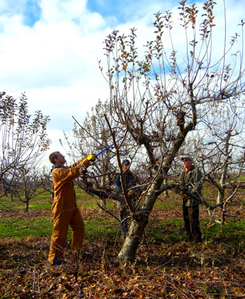 Pruning apples