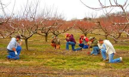 Tebow kicks off peach pruning