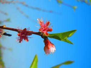 Peaches at petal fall