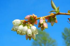 Bluecrop blueberry blossom