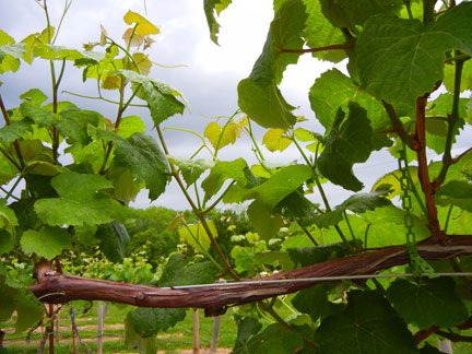 Several vines in the West Catawba have no clusters at all
