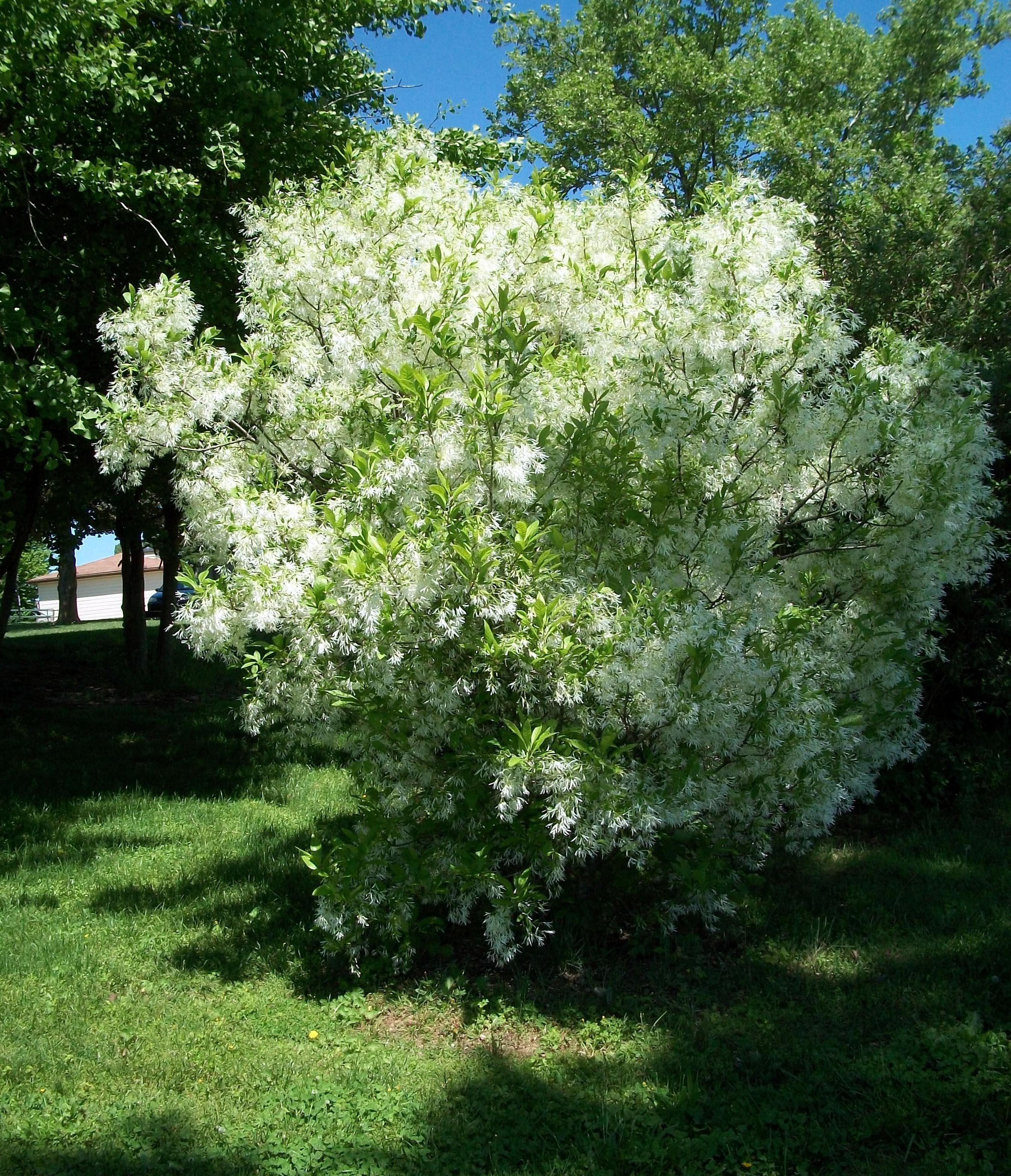 Fringe tree in bloom