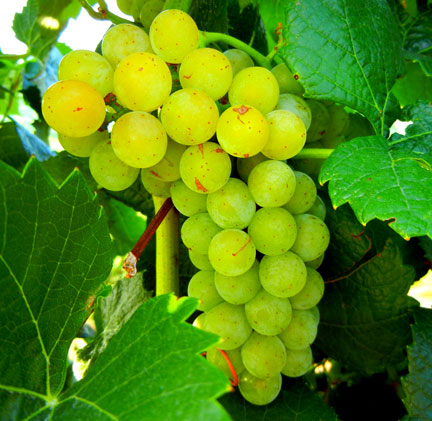 Grape phenology and GDD accumulation