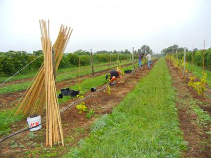 Planting grapevines from Norton – Cabernet Sauvignon crosses