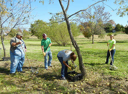 The field crew collects walnuts from the grafted varieties in the trial.