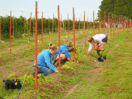 Norton plants are taken out of the container and planted into the bermed rows.