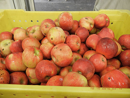 Apples that are sound but not suitable for fresh sale are sorted from the culls in the cooler.