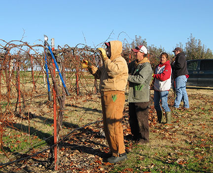 The pruning crew selects 5 good spurs on each side of the cordon, leaving 10 spurs per plant.