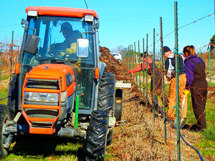 Mulching to protect grapevine graft unions
