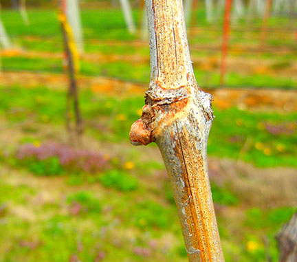 Grapevine phenology and GDD accumulation
