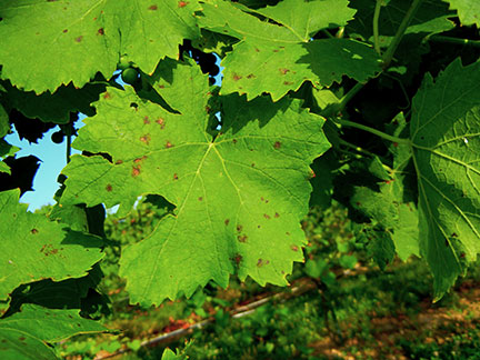 Muscat spot on 3rd year Valvin Muscat grapevines
