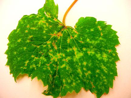 Vineyard pests, problems and diseases