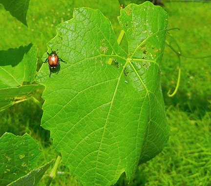 Japanese beetle on grape leaf