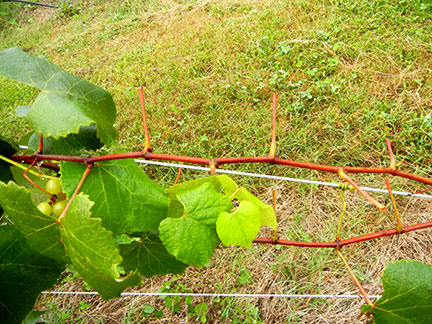 Suspected deer damage on Catawba grapevines.