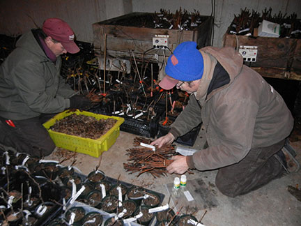 Randy and Jeremy sort through the cuttings and make sure they are labeled for identification.