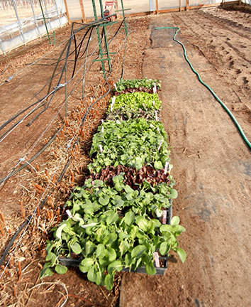 The plants were left in the tunnel over the weekend to harden. Some were nipped by cold temperature.