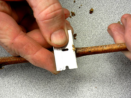 Starting at the tip, you take slices parallel to the base off until you to get to the primary bud.