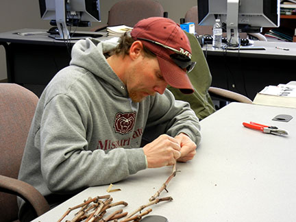 Jeremy slices through buds on the collected grape canes to assess cold injury.