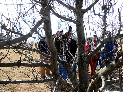 Randy Stout (with maroon cap) talks about pear pruning.